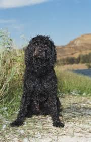 Portuguese Water Dog Non Shedding by Portuguese Water Dog Breed Information Pictures Characteristics