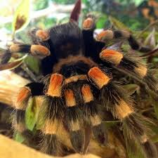 Pumpkin Patch Tarantula Bite by 181 Best Insect Images On Pinterest Nature Beetles And Butterflies