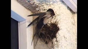 Swallows Building Their Nest - YouTube Bird Nest Idenfication Identify Nests How To Get Rid Of Swallows Best 25 Barn Swallow Ideas On Pinterest Pretty Birds Blue Bird Tree Have Returned From Migration To In Gourds Stained Glass Window March 2017 Cis Corner F June 2012 Nextdoor Nature Stparks Roosting For The Love Birds Easy Tips Attract Swifts And Martins True Life With God Hard Swallow Avian Explorer Blog Archive Babies Cottage Country Reflections Darou Farm Site Demolition Is Hold