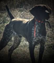 German Shorthaired Pointer Shed Hunter by Muddy Creek Kennel German Shorthaired Pointers For Sale