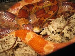 Corn Snake Shedding Too Often by Snakes Archives Snakey Sue Live Snake Encounters