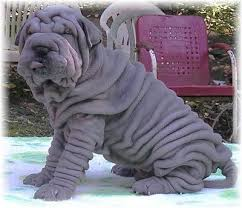 Do Shar Peis Shed A Lot by The Age Old Belief That The Wrinkles Of Shar Pei Skin Are A