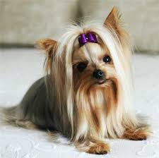 Cute Non Hypoallergenic Dogs by Are Yorkies Hypoallergenic Dogs Yorkshire Terriers And People