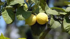 zitronenbaum und orangenbaum überwintern und pflegen