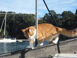 cats on deck maine coon acts as deaf sailor s ears at sea adventure cats