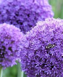 allium globemaster allium flower bulb index