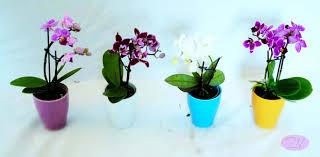 nos plantes marguerite