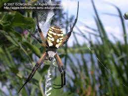 Beneficial Spiders In The Landscape: #24 Garden Spider (Argiope ... R2rustys Chatter September 2017 Ladybugs Backyard And Beyond Birdingand Nature Golden Silk Orb Weaver Spider In Bug Eric Sunday Black Yellow Argiope Glass Beetle By Falk Bauer A Backyard Naturalistinsects Ghost Spiders Family Anyphnidae Spidersrule C2c_wiki_silvgarnspider_hrw8q0m1465244105jpg Aurantia Wikipedia Two Views Sonoran Images Elephant Tiger Skin Spiny Blackandyellow Garden Mdc Discover Power Animal For October Shaman Amy Katz