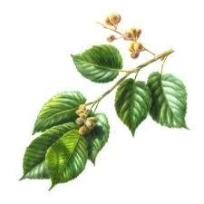 Coffee Plant Clipart Tumbuhan