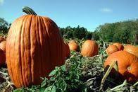 Connecticut Field Pumpkin For Pies by Squash U0026 Pumpkin Seeds U2013 Mary U0027s Heirloom Seeds