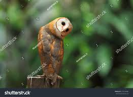 Beautiful Barn Owl Perched On Tree Stock Photo 275234486 ... Barn Owl Perching On A Tree Stump Facing Forward Stock Photo The Owls Of Australia Australian Geographic Audubon Field Guide Beautiful Perched 275234486 Barred Owl Vs Barn Hollybeth Organics Luxury Skin Care Why You Want Buddies Coast News Group Sleeping By Day Picture And Sitting Venezuela 77669470 Shutterstock Rescue Building Awareness Providing Escapes And Photography Owls Owlets At Charlecote Park Barnaby The Ohio Wildlife Center