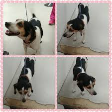 Do Treeing Walker Coonhounds Shed by Petcetera Home Facebook