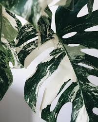 via littleandlush monstera variegata monsteravariegata