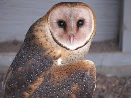 Barn Owl | We Do Not Get Barn Owls In Alberta. The Only One … | Flickr Barn Owls On Oak Beam Uk Bird Small Mammal Taxidermist Mike Gadd Owl Family Clipart Night Owl Pencil And In Color Barn Baby By Disneyqueen1 Deviantart All Things Things You Always Wanted To Know About Keeping As Pets Portrait Of A During Falconry Traing Dubai Uae The Centre Staffvolunteers Gallery My Maltese Falcon A Day Falconry Speck The Globe 130109 130110 Wildlife Center Virginia Lydias Video Youtube