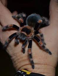 Do Tarantulas Shed Their Legs by Another Mexican Red Knee Brachypelma Smithi Molt And Another