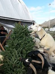 Christmas Tree Disposal Nyc by Goats Another Option For Recycling Your Christmas Tree Sfgate