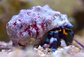 Halloween Hermit Crab by Something Fishy Aquarium Livestock Inverts U0026 Clams Crabs