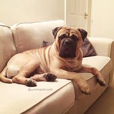 Do Bullmastiffs Shed A Lot by 14 Dog Breeds That Are Perfect For Lazy Humans Barkpost