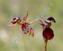 2015 sale 150pcs for home garden flying duck orchid flower