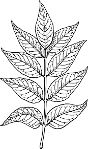 Ash leaves small clipart 300pixel size free design