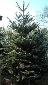 Nordmann Fir Christmas Tree by Christmas Trees Potted Living Trees Buy Online Uk