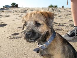 Do Border Terriers Shed by 501 Best Border Terrier Dogs Images On Pinterest Terrier Dogs