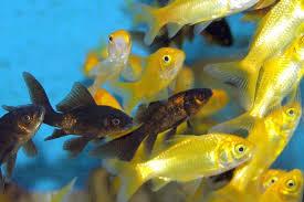 aquarium poisson prix poisson eau froide petit aquarium bocal a poisson prix vrac it