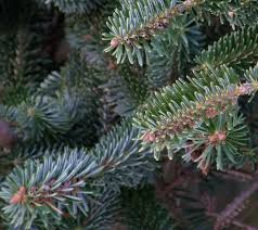 Christmas Tree Species Usa by 7 Best Noble Fir Christmas Trees Images On Pinterest Firs
