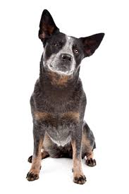 Blue Heeler Mix Shedding by Blue Heeler Blue Heeler Pet Insurance U0026 Dog Breed
