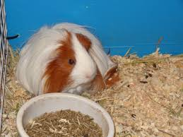 Pine Bedding For Guinea Pigs by Cavy World Guinea Pig Rescue