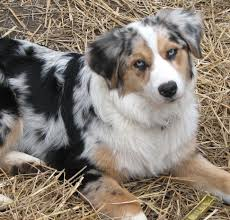 Dogs That Dont Shed A Lot by Faithwalk Aussies Eyes Pigment Markings