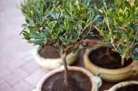 comment protéger un olivier en pot durant l hiver