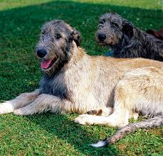 irish wolfhound dog breed information pictures characteristics