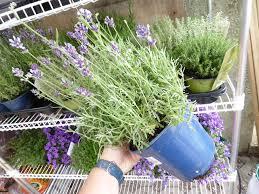 terratuga schildkrötenshop lavendel pflanze 11cm topf