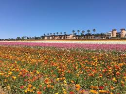 The multi colored fields of flowers are gorgeous when in full bloom