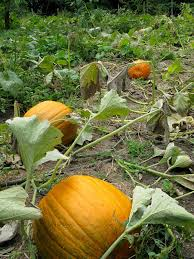 Where Did Pumpkin Patch Originate by My Pumpkin Patch From Seed To Harvest The Martha Stewart Blog