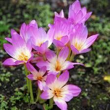 buy autumn crocus bulb colchicum lilac