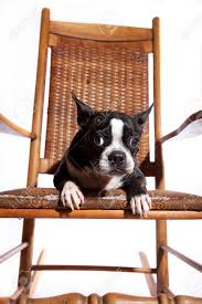 Cute Boston Terrier Posing On An Old Hardwood Rocking Chair... Cherry Wood Antique Rocker With Inlay Collectors Weekly Help Me Safely Disassemble A Rocking Chair Fniture Dit Early 19th Century Decorated Boston Rocker This Is Depop An Federal Style Faux Bamboo Antique Rocking Chair Stock Photos 19thc Original Black Painted And Stenciled Fruit Vintage Childs Bostonstyle The Great Toward The Truth About American Rockers Trader Antiques Atlas