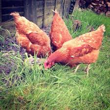 Hey From Hampshire UK :) | BackYard Chickens 14 Best Chicken Breeds Images On Pinterest Grandpas Feeders Automatic Feeder Standard 20lb Feed Backyard Chickens Norfolk Va 28 Run Selling Eggs From Uk My Marans Red Pyle Brahmas And Other Colours Backyard Chickens Page 53 Of 58 Backyard Ideas 2018 Derbyshire Redcaps Uk Cleaning Stock Photos Images Quietest Breeds Uk With Quiet Coop How To Keep Your Hens Laying All Winter Long Top 5 Tips A Newbie The