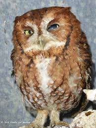 Blog Archives - Laurens Wildlife Rescue White Screech Owl Illustration Lachina Bbc Two Autumnwatch Sleepy Barn Owl Yoga Bird Feeder Feast And Barn Wikipedia Attractions In Cornwall Sanctuary Wishart Studios Red Eastern By Ryangallagherart On Deviantart Owlingcom Biology Birding Buddies 2000 Best 2 Especially Images Pinterest Screeching Youtube