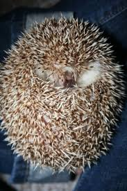 interesting facts about hedgehogs pethelpful