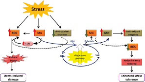 Stages Of Pumpkin Growth by Glyoxalases And Stress Tolerance In Plants Biochemical Society