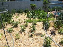 Mulching ve able garden