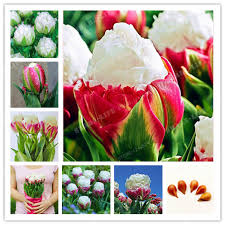 aliexpress buy true tulip bulbs not tulip seeds bonsai