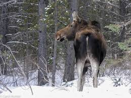 Bull Moose Shedding Antlers by Antlerless Moose U2013 Male Or Female A World Worth Watching