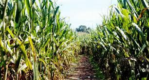Pumpkin Patch Near Greenville Nc by Get Lost In These 7 Corn Mazes Near Greenville U2013 Kidding Around