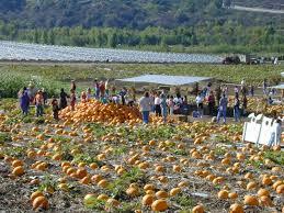 Pumpkin Patch Irvine University by Tanaka Farms Pumpkin Patch Orange County Ca