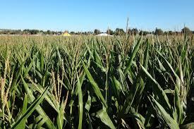Petaluma Pumpkin Patch Corn Maze Map by 10 Best Corn Mazes In The Bay Area