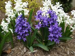 hyacinth flowers facts varieties growing and plant caring tips