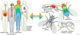 For Almost Every Organ In Humans There Is A Match Flies And Common Genes